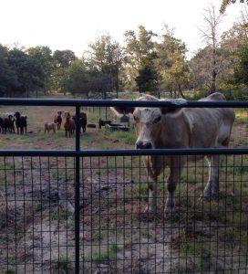 Dixie the cow supervises